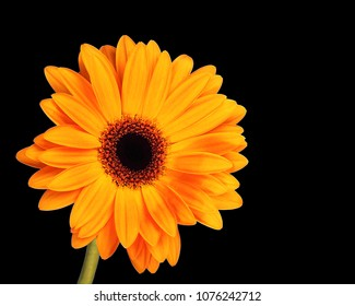 OTTAWA, CANADA - APRIL 18, 2018: Orange Gerbera flower on black background.