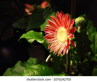 OTTAWA, CANADA - APRIL 21, 2018: Red Gerbera flower on black background.