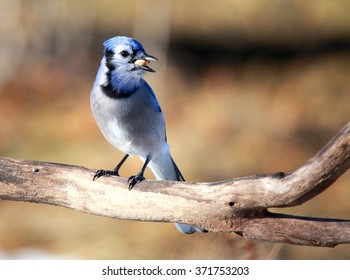 OTTAWA, CANADA - FEB. 2, 2016: A Blue Jay with a peanut on a branch in woods near the Ottawa River.