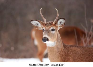 OTTAWA, CANADA - JAN. 16, 2016: A white tail deer buck in winter in woods near the Ottawa River.
