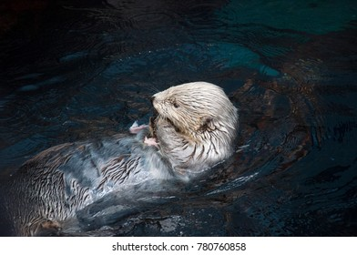 Otter animal swimming and eating fish in the water