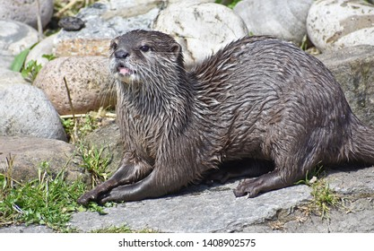 Otter - Asian Short Clawed Otter