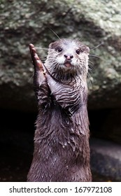 Otter clapping hands