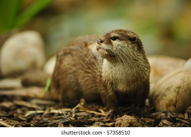 Otter with copy space and selective focus