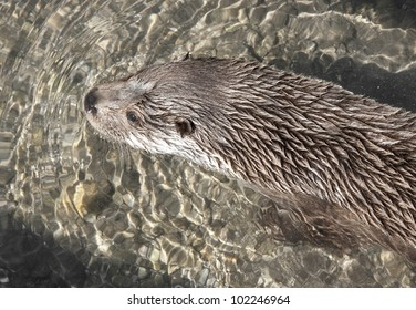 otter floating in water -  - detail of head