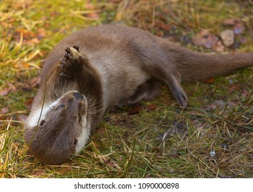 Otter holding a small stone