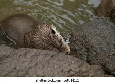otter looking for food between rocks