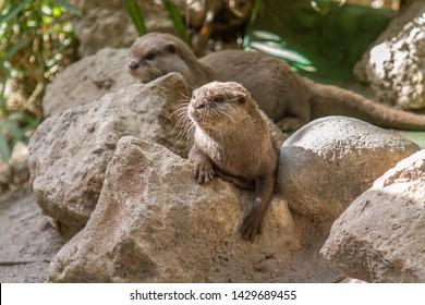 Otter looking otters hands rocks wild