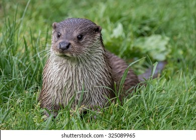 Otter lying on grass with green grass background