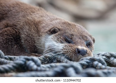 Otter in the Moscow Zoo