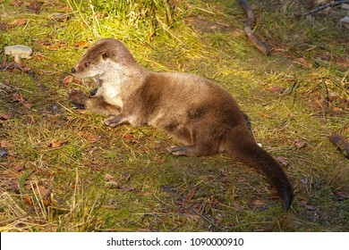 Otter on the grass