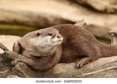 Otter on a log