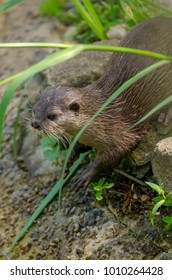 An otter on the riverbank