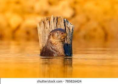 Otter in orange evening light water. Giant Otter, Pteronura brasiliensis, portrait in the river water level, Rio Negro, Pantanal, Brazil. Wildlife scene from nature.