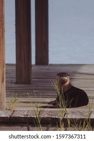 Otter relaxes on a central Florida dock.