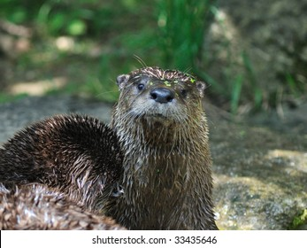 a otter sit up and beg