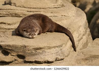 Otter sleeping on a rock