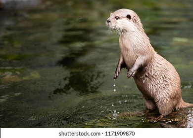 Otter is standing on two legs in the water