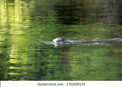 Otter swimming in a Florida spring