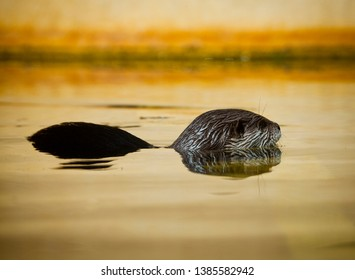 Otter swimming with head and back above surface, semi submerged in water. The Asian small clawed otter, also known as the oriental small clawed otter or simply small-clawed otter.