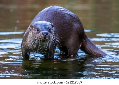 otter swimming in water