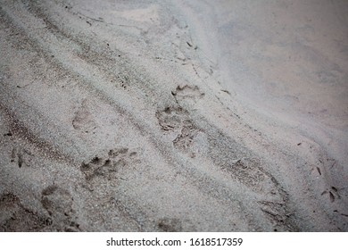 Otter tracks on the sands of a river.
