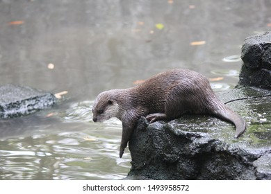 Otters are carnivorous mammals belonging to the Lutrinae subfamily. semi-aquatic, aquatic, or marine animals, and they eat fish