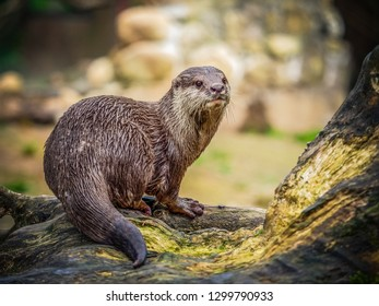 Otters are carnivorous mammals in the subfamily Lutrinae. The 13 extant otter species are all semiaquatic, aquatic or marine, with diets based on fish and invertebrates