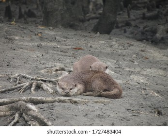 Otters are carnivorous mammals in the subfamily Lutrinae Smooth coated otters