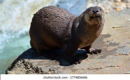 Otters are carnivorous mammals in the subfamily Lutrinae. The 13 extant otter species are all semiaquatic, aquatic or marine, with diets based on fish and invertebrates.
