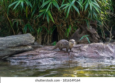 Otters are carnivorous mammals in the subfamily Lutrinae.Playful otters on the river bank