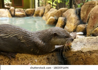 otters (lutrinae) or berang-berang while eating by the water pool, surabaya zoo collection, Jalan Setail, Surabaya, East Java, Indonesia (surabaya, january 30 2020)