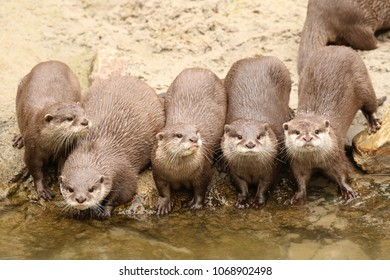 Otters near the water