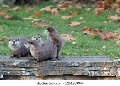 Otters play on a wall