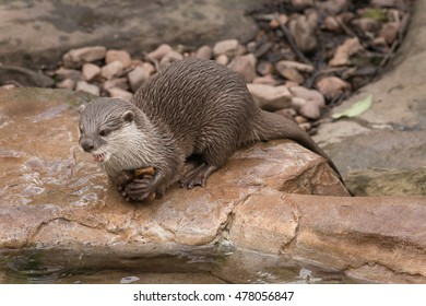 Otters sit and play on water front rocks