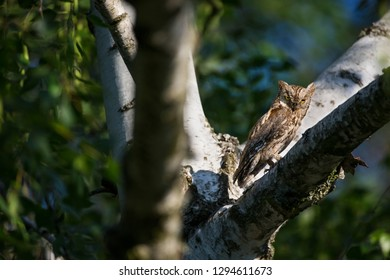 Otus scops. The wild nature of Bulgaria.
