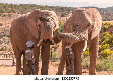 OUDTSHOORN, SOUTH AFRICA - NOVEMBER, 2018: Rangers feeding african elephants in game reserve