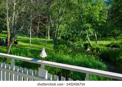 Oulu, Finland - July 11 2016: Black-headed gull standing on white wooden bridge in a park in Oulu city