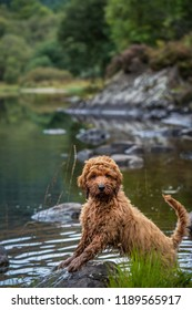 Our cockapoo puppy standing on a rock in Loch Ard in the Trossachs National Park in SCotland