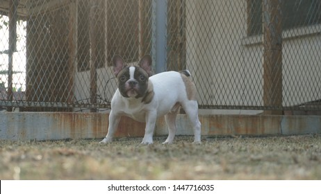Our pet Loki the French Bulldog playing outdoor