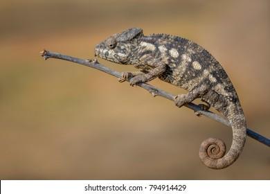 Oustalet's Chameleon - Furcifer oustaleti, Kirindi forest, Madagascar