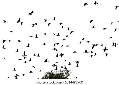 Out of focus Group of bird flying,Large group of bird flying isolated on white background