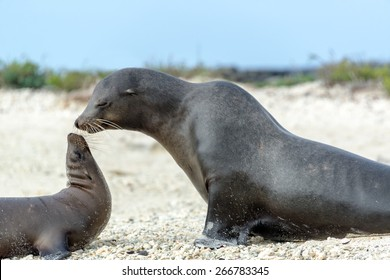Out of focus Sea Lion mother and child on Genovesa Island in the Galapagos Islands in Ecuador