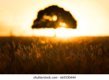 Out of focus tree at sunset in a golden field