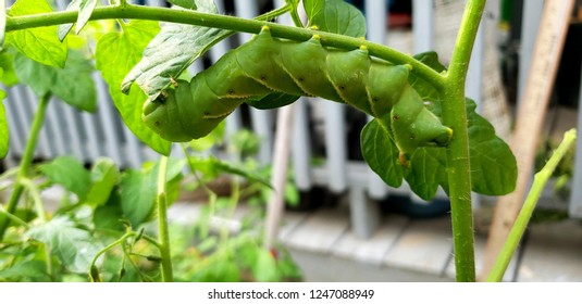 I was out in the garden when I noticed this little fella, it is a tomato horn worm. It can get as big as 4 inches before the pups stage. They turn into sphinx moths, the moth can grow 4-5 inches!