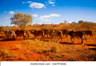Outback Herd. Rural scene in Western Australia. Dusty red-orange dirt kicked up by a herd of cows in bushland, under a blue sky with clouds.