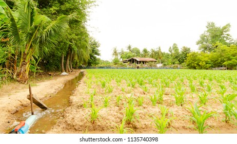 Outdoor backgrounds with corn plant on country side, Thailand