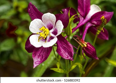 Outdoor close up of colorful white purple and yellow aquilegia columbine flower in garden setting