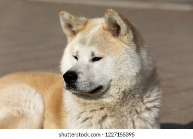 Outdoor close up portrait of an akita dog or akita inu japanese akita