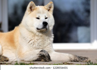 Outdoor close up portrait of an akita dog or akita inu japanese akita